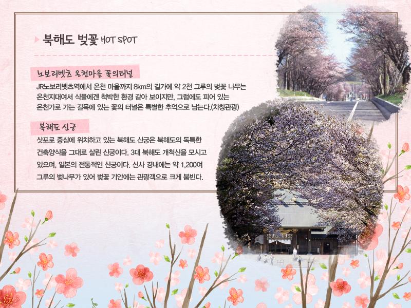 북해도 벚꽃